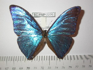 (Morpho marcus marcus - BC-FMP-2276)  @13 [ ] Copyright (2011) Frank Meister Research Collection of Frank Meister