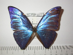 (Morpho marcus intermedia - BC-FMP-2277)  @13 [ ] Copyright (2011) Frank Meister Research Collection of Frank Meister