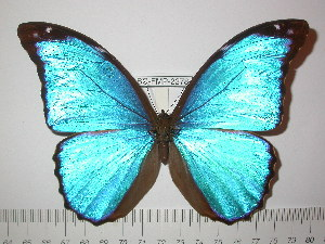 (Morpho menelaus coeruleus - BC-FMP-2278)  @14 [ ] Copyright (2011) Frank Meister Research Collection of Frank Meister