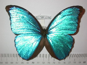 (Morpho menelaus terrestris - BC-FMP-2279)  @14 [ ] Copyright (2011) Frank Meister Research Collection of Frank Meister