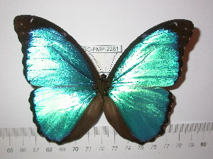 (Morpho menelaus offenbachi - BC-FMP-2281)  @14 [ ] Copyright (2011) Frank Meister Research Collection of Frank Meister