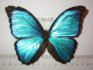 (Morpho menelaus occidentalis - BC-FMP-2283)  @14 [ ] Copyright (2011) Frank Meister Research Collection of Frank Meister