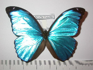 (Morpho menelaus menelaus - BC-FMP-2286)  @14 [ ] Copyright (2011) Frank Meister Research Collection of Frank Meister