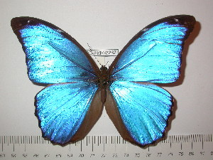 (Morpho godartii tingomariensis - BC-FMP-2287)  @14 [ ] Copyright (2011) Frank Meister Research Collection of Frank Meister