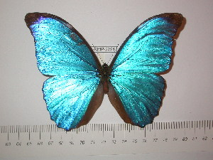 (Morpho amathonte amathonte - BC-FMP-2291)  @14 [ ] Copyright (2011) Frank Meister Research Collection of Frank Meister