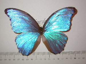 (Morpho godartii assarpei - BC-FMP-2292)  @11 [ ] Copyright (2011) Frank Meister Research Collection of Frank Meister