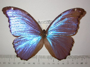(Morpho godartii assarpei - BC-FMP-2294)  @11 [ ] Copyright (2011) Frank Meister Research Collection of Frank Meister
