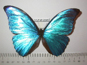 (Morpho amathonte ecuadorensis - BC-FMP-2295)  @14 [ ] Copyright (2011) Frank Meister Research Collection of Frank Meister