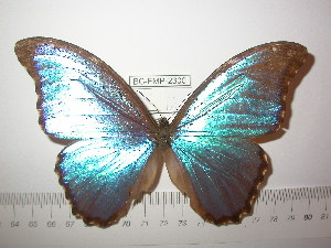 (Morpho godartii godartii - BC-FMP-2300)  @13 [ ] Copyright (2011) Frank Meister Research Collection of Frank Meister