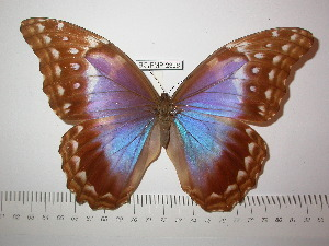 (Morpho godartii didius - BC-FMP-2306)  @14 [ ] Copyright (2011) Frank Meister Research Collection of Frank Meister