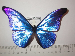 (Morpho rhetenor mariajosianae - BC-FMP-2312)  @13 [ ] Copyright (2011) Frank Meister Research Collection of Frank Meister