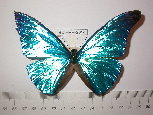 (Morpho rhetenor equatenor - BC-FMP-2314)  @13 [ ] Copyright (2011) Frank Meister Research Collection of Frank Meister