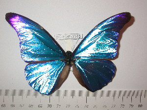 (Morpho rhetenor cacica - BC-FMP-2315)  @11 [ ] Copyright (2011) Frank Meister Research Collection of Frank Meister