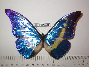 (Morpho rhetenor helena - BC-FMP-2318)  @13 [ ] Copyright (2011) Frank Meister Research Collection of Frank Meister