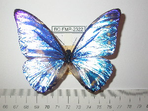 (Morpho cypris chrysonicus - BC-FMP-2322)  @13 [ ] Copyright (2011) Frank Meister Research Collection of Frank Meister
