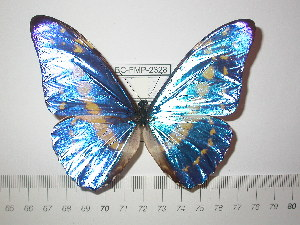 (Morpho cypris cypris - BC-FMP-2323)  @13 [ ] Copyright (2011) Frank Meister Research Collection of Frank Meister