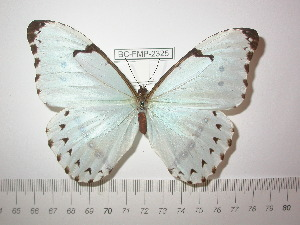 (Morpho epistrophus - BC-FMP-2325)  @14 [ ] Copyright (2011) Frank Meister Research Collection of Frank Meister