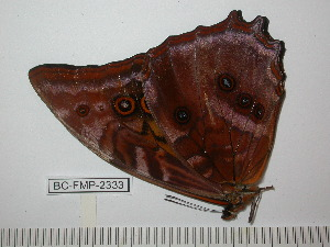 (Morpho amphitrion amphitrion - BC-FMP-2333)  @11 [ ] Copyright (2011) Frank Meister Research Collection of Frank Meister