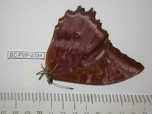 (Morpho theseus juturna - BC-FMP-2334)  @13 [ ] Copyright (2011) Frank Meister Research Collection of Frank Meister