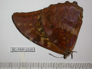 (Morpho telemachus martini - BC-FMP-2335)  @11 [ ] Copyright (2011) Frank Meister Research Collection of Frank Meister