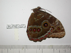 (Morpho helenor izalconensis - BC-FMP-2337)  @12 [ ] Copyright (2011) Frank Meister Research Collection of Frank Meister