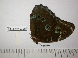 (Morpho deidamia agamedes - BC-FMP-2338)  @11 [ ] Copyright (2011) Frank Meister Research Collection of Frank Meister