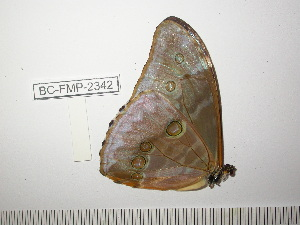 (Morpho aurora lamasi - BC-FMP-2342)  @12 [ ] Copyright (2011) Frank Meister Research Collection of Frank Meister
