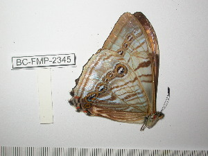 (Morpho sulkowskyi selenaris - BC-FMP-2345)  @13 [ ] Copyright (2011) Frank Meister Research Collection of Frank Meister