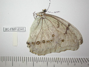 (Morpho polyphemus - BC-FMP-2346)  @12 [ ] Copyright (2011) Frank Meister Research Collection of Frank Meister