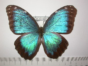 (Morpho peleides - BC-FMP-2347)  @14 [ ] Copyright (2011) Frank Meister Research Collection of Frank Meister