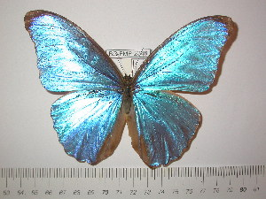(Morpho amathonte centralis - BC-FMP-2348)  @14 [ ] Copyright (2011) Frank Meister Research Collection of Frank Meister