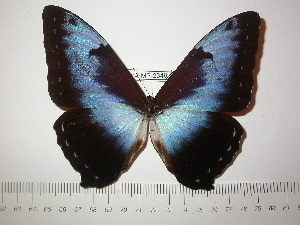 (Morpho cisseis cisseis - BC-FMP-2349)  @14 [ ] Copyright (2011) Frank Meister Research Collection of Frank Meister