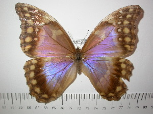 (Morpho godartii lachaumei - BC-FMP-2350)  @14 [ ] Copyright (2011) Frank Meister Research Collection of Frank Meister
