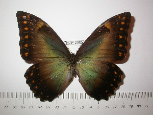 (Morpho telemachus penelope - BC-FMP-2353)  @13 [ ] Copyright (2011) Frank Meister Research Collection of Frank Meister