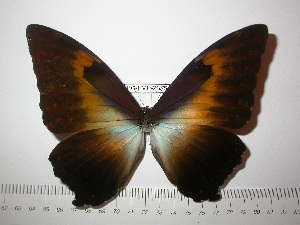 (Morpho cisseis phanodemus - BC-FMP-2355)  @14 [ ] Copyright (2011) Frank Meister Research Collection of Frank Meister