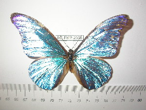 (Morpho rhetenor hingtoni - BC-FMP-2358)  @13 [ ] Copyright (2011) Frank Meister Research Collection of Frank Meister