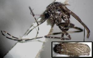 (Coquillettidia juxtamansonia - CIEC-Fo-17-19)  @11 [ ] Copyright (2017) CIEC Centro de Investigaciones Entomológicas de Córdoba