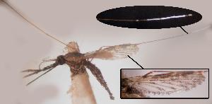 (Anopheles triannulatus - CIEC-Fo-17-49)  @11 [ ] Copyright (2017) CIEC Centro de Investigaciones Entomológicas de Córdoba
