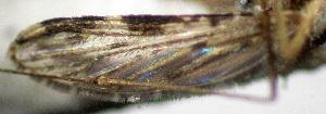 (Anopheles lanei - CIEC-Fo-17-71)  @11 [ ] Copyright (2017) CIEC Centro de Investigaciones Entomológicas de Córdoba