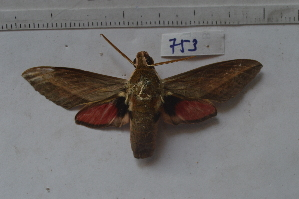 ( - MOTH753)  @11 [ ] Copyright (2013) Aditi S. Shere-Kharwar Paul Hebert Centre for DNA Barcoding and Biodiversity Studies (PHCDBBS)