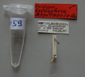 (Coleophora zygotaenia - ANIKIN-2011-0059)  @11 [ ] CreativeCommons - Attribution Non-Commercial (2011) Saratov State University Saratov State University