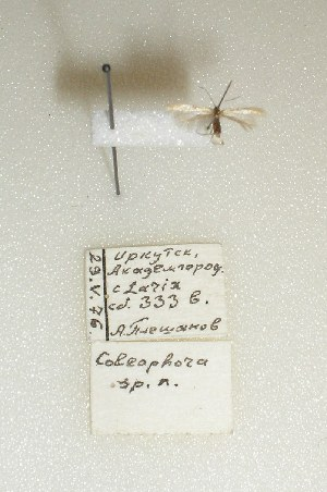 (Coleophora maturella - ANIKIN-2011-0028)  @11 [ ] CreativeCommons - Attribution Non-Commercial (2011) Saratov State University Saratov State University