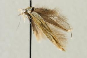 (Coleophora canariipennella - CNCLEP00043748)  @12 [ ] Copyright (2007) Unspecified Canadian National Collection