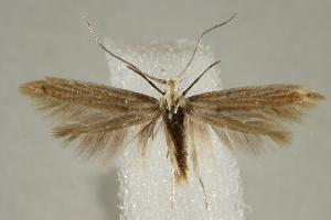 (Coleophora lineosyridella - CNCLEP00043845)  @11 [ ] Copyright (2007) Jean-Francois Landry Canadian National Collection