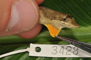 (Anolis amplisquamosus - MSB POE3398)  @15 [ ] Unspecified (default): All Rights Reserved  Unspecified Unspecified