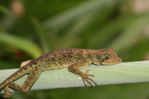 (Anolis capito - MSB POE3219)  @11 [ ] Unspecified (default): All Rights Reserved  Unspecified Unspecified