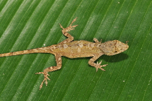 (Anolis cusuco - MSB POE3433)  @11 [ ] Unspecified (default): All Rights Reserved  Unspecified Unspecified
