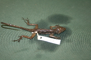 (Anolis gundlachi - MSB POE3684)  @13 [ ] Unspecified (default): All Rights Reserved  Unspecified Unspecified