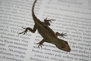 (Anolis laeviventris - MSB POE3267)  @14 [ ] Unspecified (default): All Rights Reserved  Unspecified Unspecified