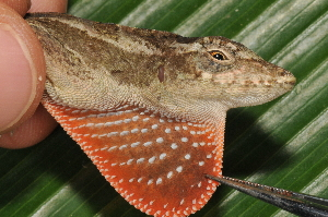 (Anolis lemurinus - MSB POE3256)  @15 [ ] Unspecified (default): All Rights Reserved  Unspecified Unspecified